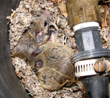Mouse Nest in a Valve Box