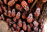 Mesquite Bugs