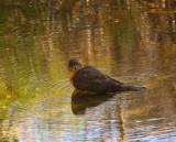 Cooper's Hawk Bathing in Queen Creek