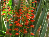 Penstemon eatoni with Aloe