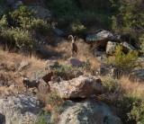Desert Bighorn Sheep at Boyce Thompson Arboretum