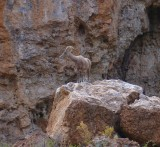 Desert Bighorn Sheep at Boyce Thompson Arboretum