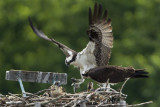 MALE OSPREY ARRIVES WITH A FISH