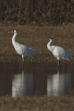 WHOOPING CRANES - CLASS OF 2010, 23-10, & 26-10