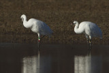WHOOPING CRANES -- 23-10 & 26-10