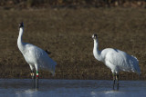 WHOOPING CRANES -- #23-10 & #26-10