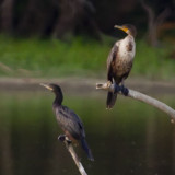 NEOTROPIC CORMORANT (on left) & DOUBLE-CRESTED CORMORANT