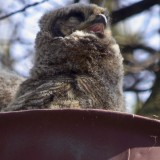 DIGISCOPED GREAT HORNED OWLETTE