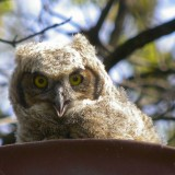 DIGISCOPED GREAT HORNED OWL