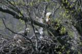 ADULT BALD EAGLE AND EAGLETS AT 4 WEEKS