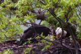 ADULT BALD EAGLE AND EAGLETS AT 8 WEEKS