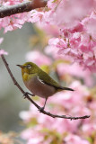 Japanese White eye on cherry