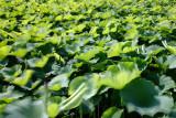 Light green butterflies!_Lotus field