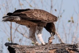 When a Martial Eagle meet an harlequin quail , their is a death at the end of the road for one of the Bird;