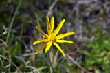 Flor amarilla Arnica