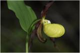 Venusschoentje - Cypripedium calceolus - Sabot de Vénus