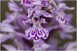 gevlekte Orchis - Dactylorhiza maculata