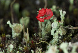 rode Heidelucifer - Cladonia floerkeana