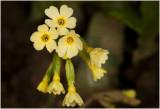 slanke Sleutelbloem - Primula elatior