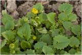 Voorjaarszonnebloem - Doronicum orientalis