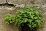 gele Monnikskap - Aconitum vulparia