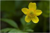 Gele ( bos- ) Anemoon - Anemone ranunculoides