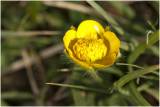 kruipende Boterbloem - Ranunculus repens