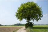 solitaire Zomereik  - Quercus robur