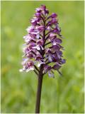 Hybride: Soldaatje x Purperorchis - Orchis militaris x Orchis purpurea