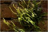Steenbreekvaren - Asplenium trichomanes