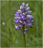 Hybride: Aapjesorchis x soldaatje - Orchis simia x Orchis militaris