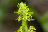 Kruisbladwalstro - Cruciata laevipes