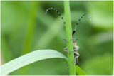 Distelboktor - Agapanthia villosoviridescens