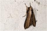Kuifvlinder - Shargacucullia verbasci