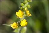 welriekende Agrimonie - Agrimonia procera