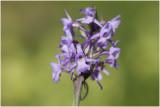 grote Muggenorchis - Gymnadenia conopsea