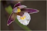 moeras Wespenorchis - Epipactis palustris