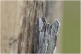grauwe Monnik - Cucullia umbratica - detail kop