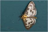 Brandnetelmot - Eurrhypara hortulata