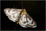 Brandnetelmot - Eurrhypara hortulata - buik-/onderzijde