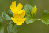 Penningkruid - Lysimachia nummularia