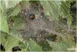gewone Doolhofspin - Agelena labyrinthica