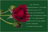 mijn rode Roos ...