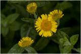 Heelblaadjes - Pulicaria dysenterica