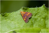 Muntvlindertje - Pyrausta aurata