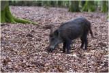 wild zwijn of Everzwijn - Sus scrofa