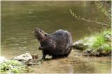 GALLERY Europese Bever - Castor fiber - Eurasian Beaver