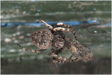 Wielspin - Araneus umbraticus