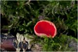 Krulhaarkelkzwam - Sarcoscypha austriaca