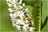 geringelde Smalboktor - Leptura maculata